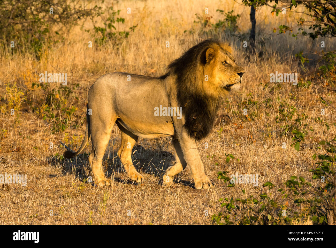 Male Black Maned African Lion at Mashatu Game Reserve Botswana - Stock Image