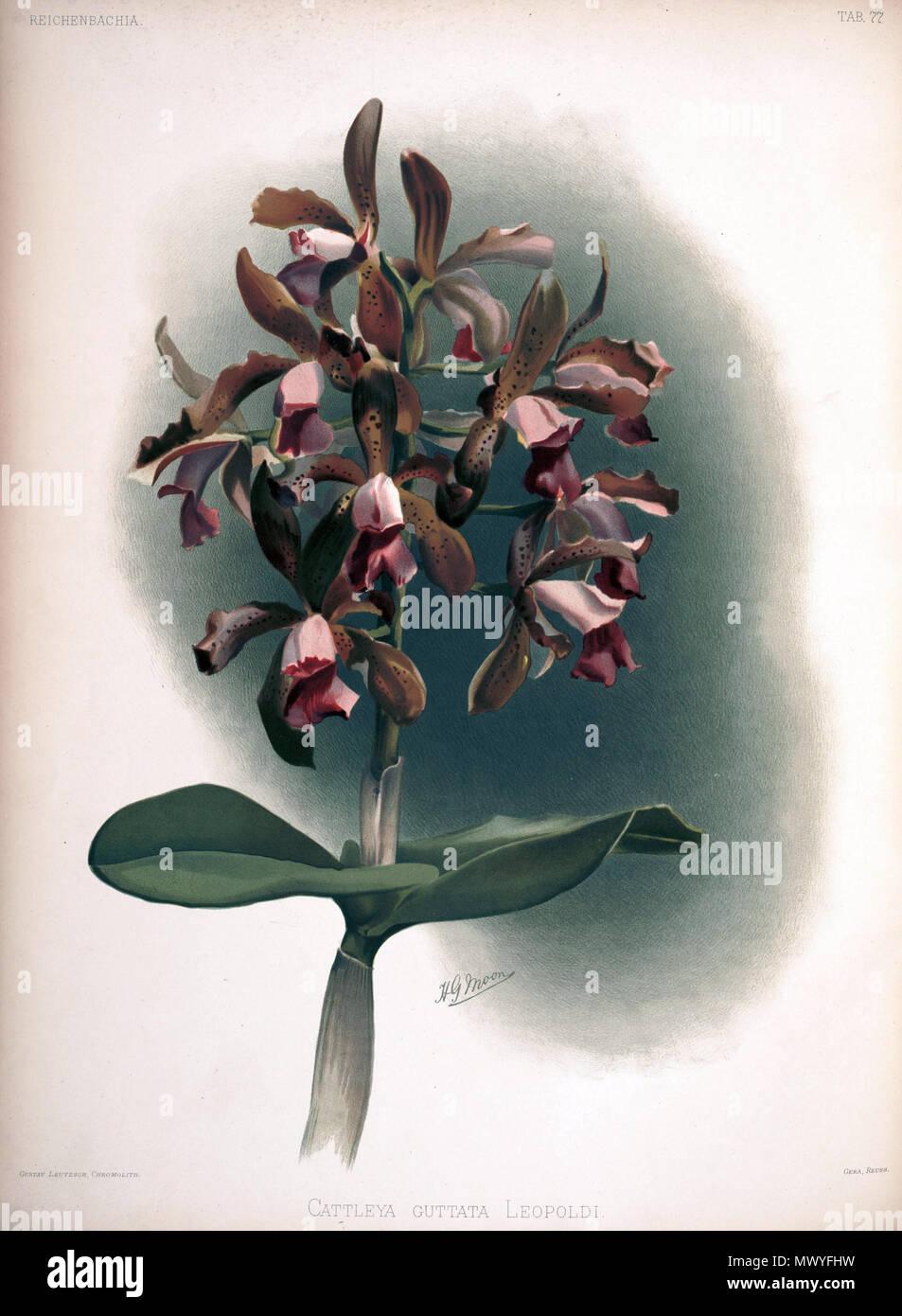 . Cattleya tigrina as syn.: Cattleya guttata var. leopoldii . between 1888 and 1894. H. Sotheran & Co., London (editor) 221 Frederick Sander - Reichenbachia II plate 77 (1890) - Cattleya guttata leopoldi - Stock Image