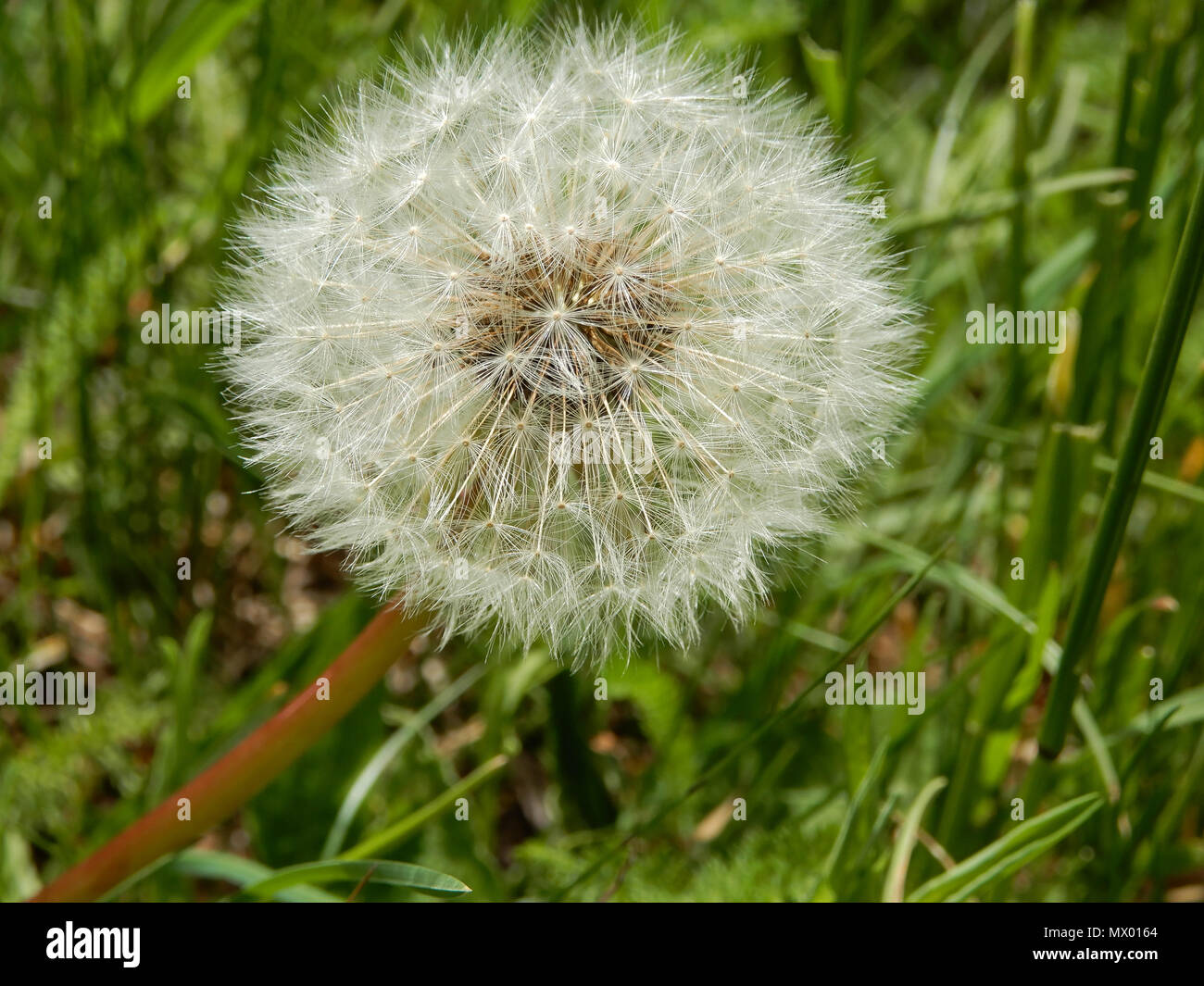 dandelion flower meaning stock photos & dandelion flower meaning