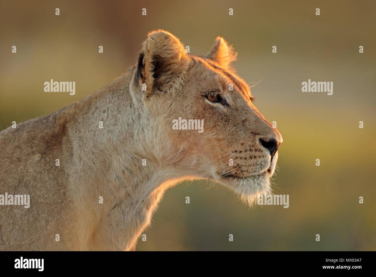 Portrait of an African lioness (Panthera leo), Kalahari desert, South Africa - Stock Image