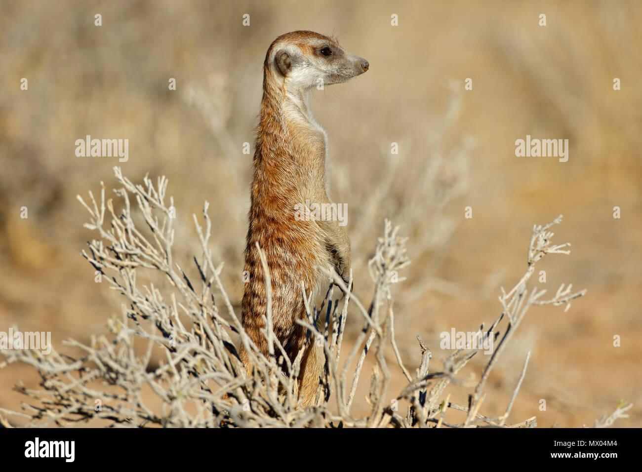 Alert meerkat (Suricata suricatta) standing on guard, Kalahari desert, South Africa Stock Photo