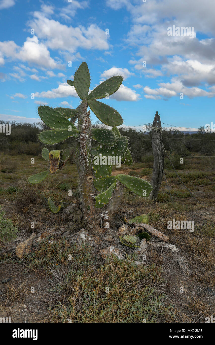 Cactus in the south african landscape of the arid Addo Elephant National Park, eastern cape, south Africa - Stock Image