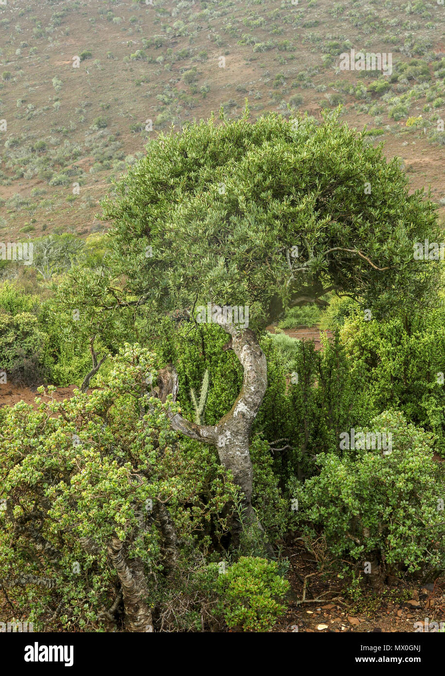 South african Fynbos landscape in the north of the Addo Elephant National Park , eastern cape, south africa Stock Photo