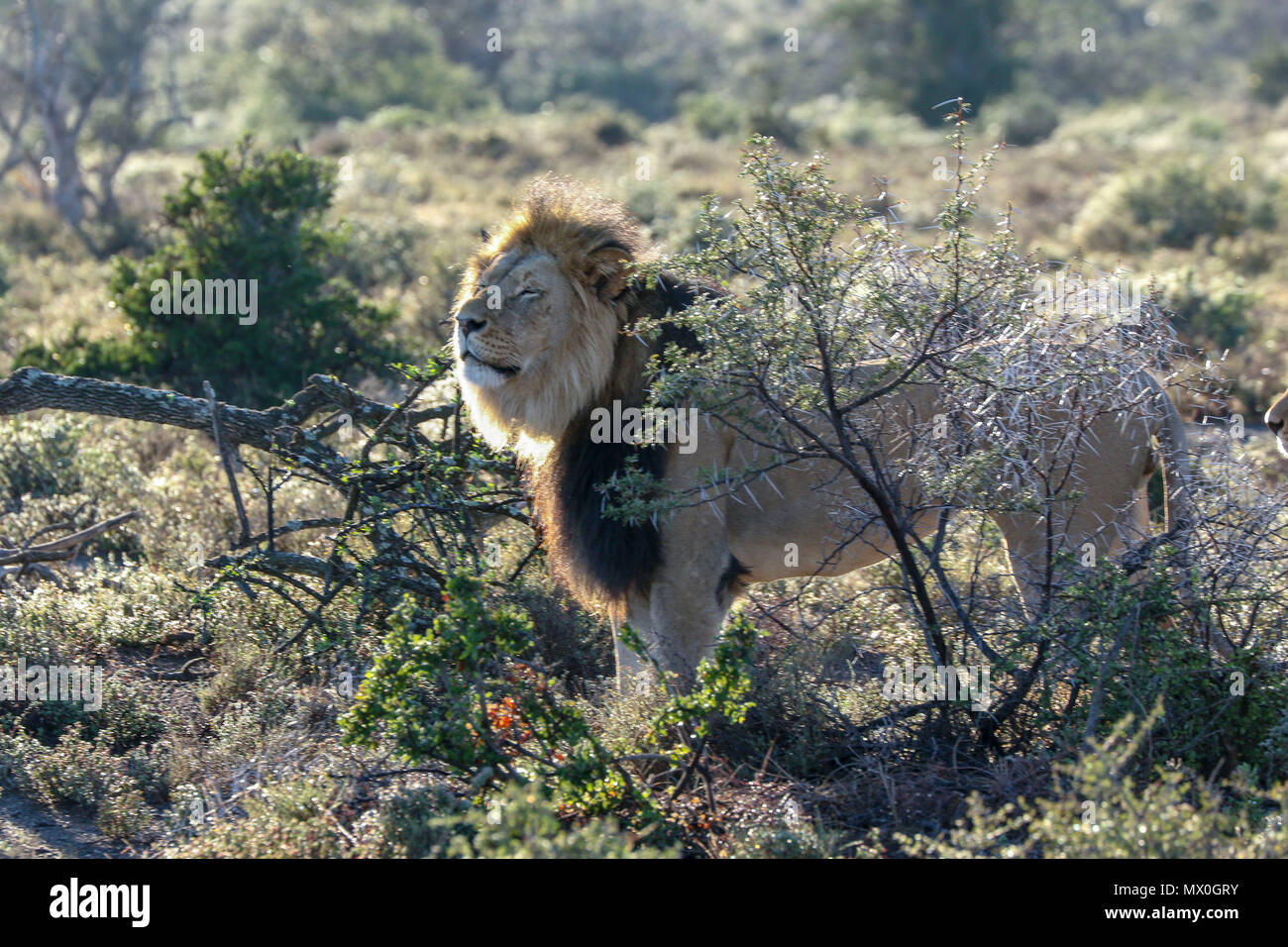 Male lion and fynbos in the Addo Elephant National Park amongst acacia , eastern cape, south africa Stock Photo