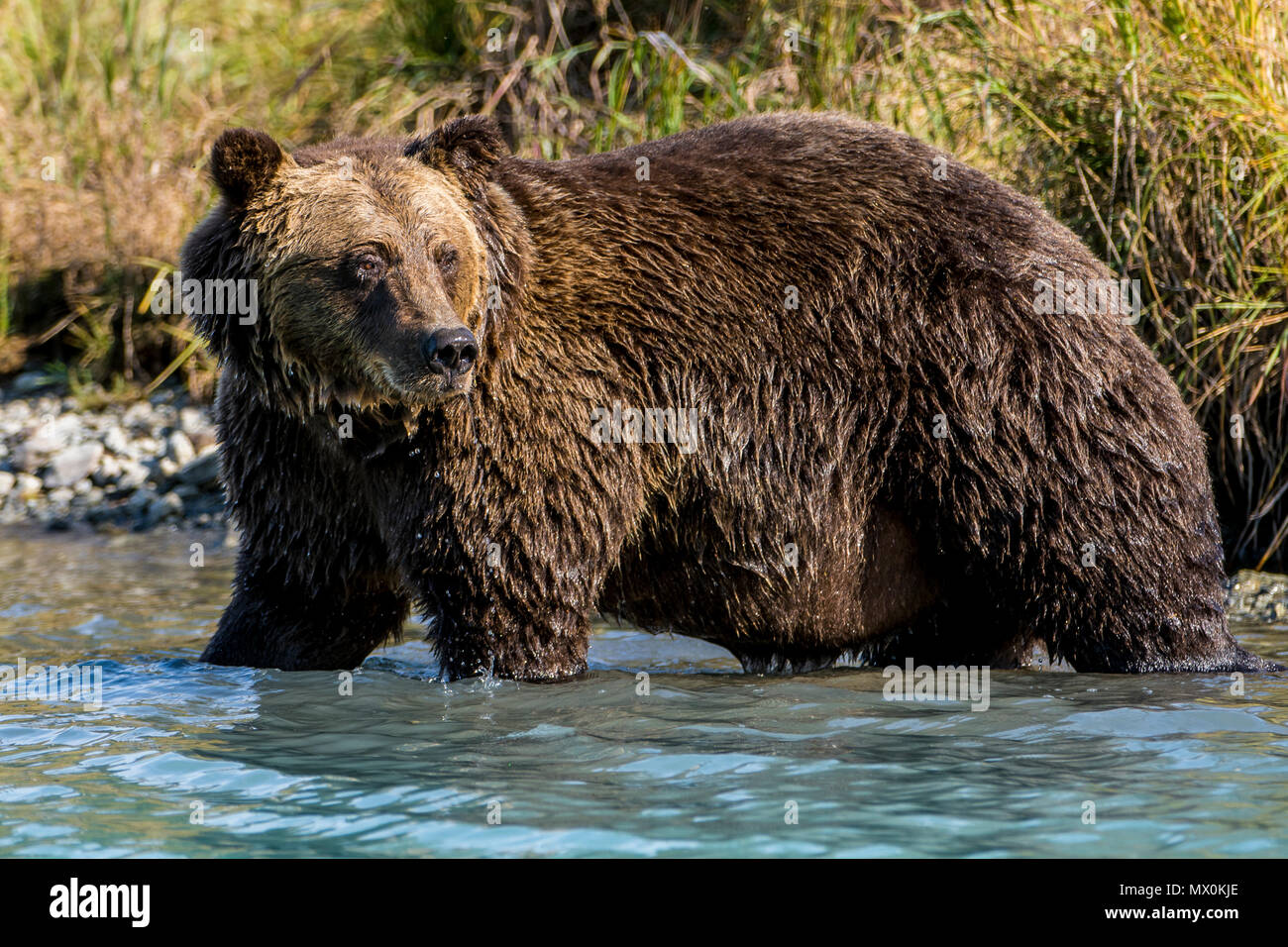 Grizzly (brown) bear (Ursus arctos) at Crescent Lake, Lake Clark National Park and Preserve, Alaska, United States of America, North America - Stock Image
