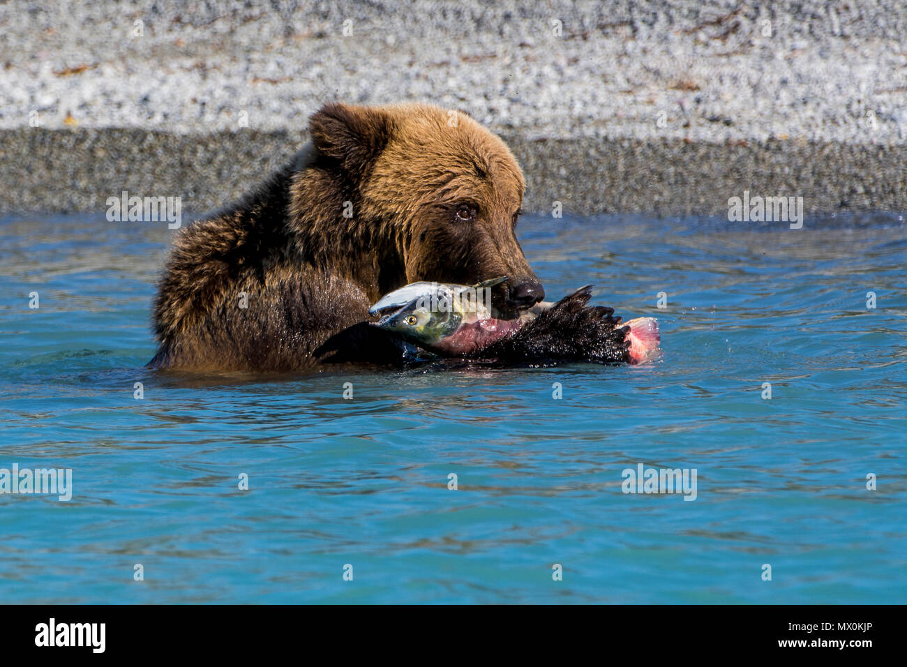 Grizzly bear (brown bear) (Ursus arctos) at Crescent Lake, Lake Clark National Park and Preserve, Alaska, United States of America, North America - Stock Image