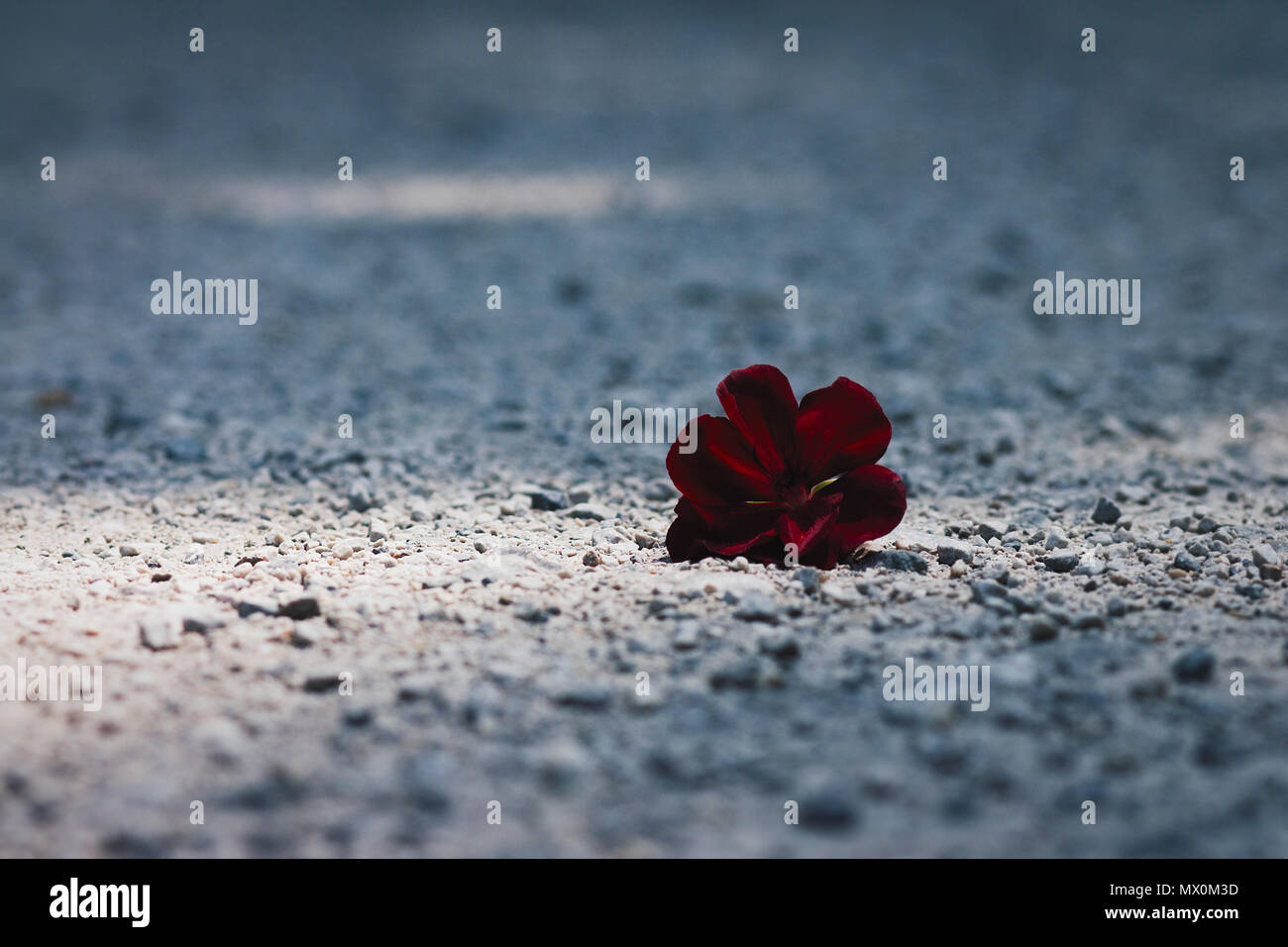 Lonely, thrown away, dark red flower lying on the gravel path in sunlight spot - Stock Image
