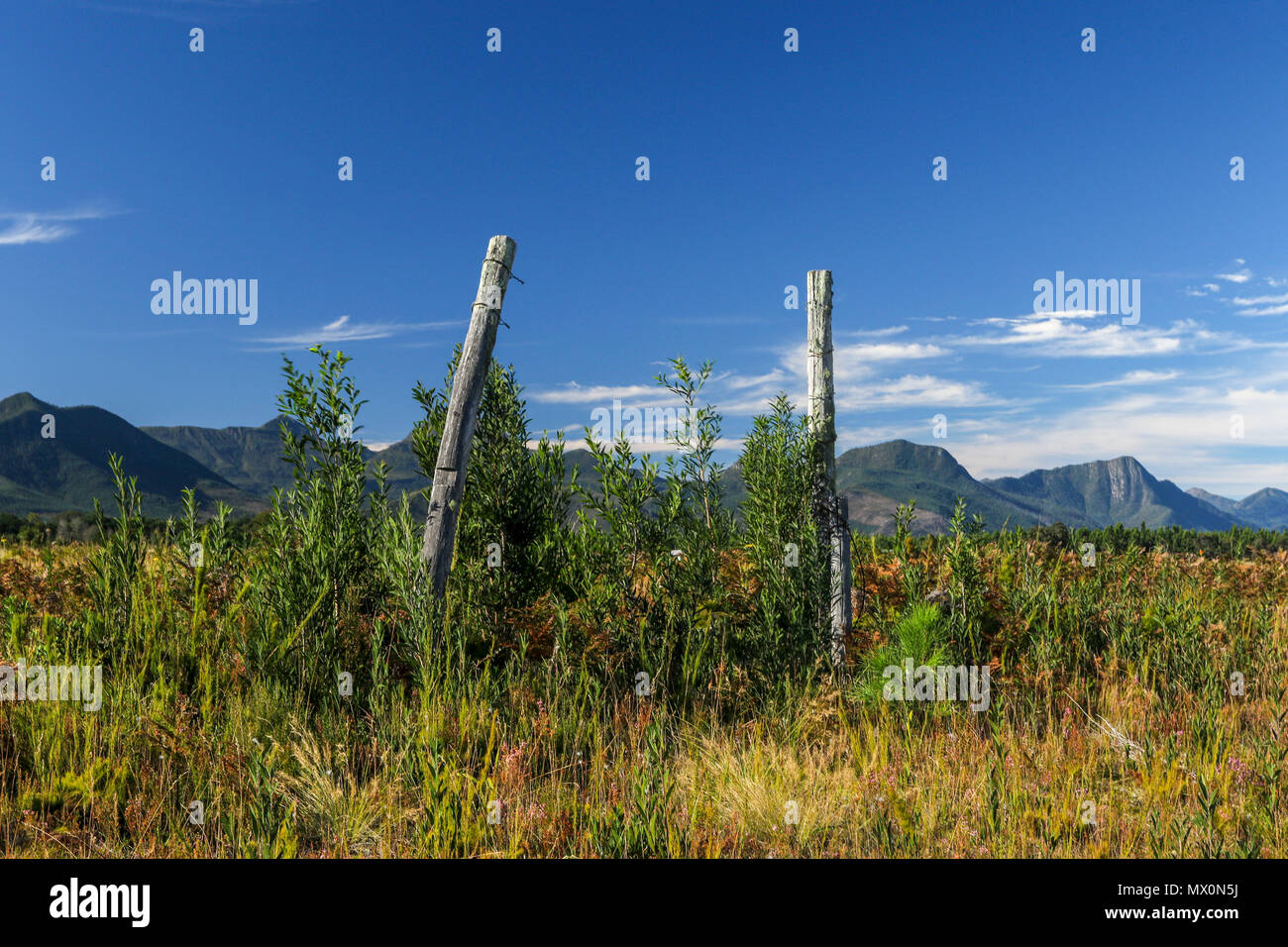 Fencepost and fynbos landscape on the road to Coldstream, Tsitsikamma, protected area, Garden Route, Cape, South Africa, - Stock Image