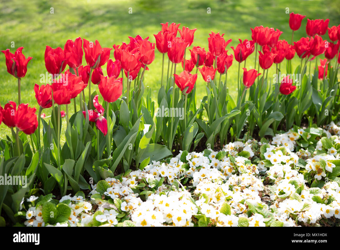 White Flowers And Amazing Tulips Background Beautiful View Of Red