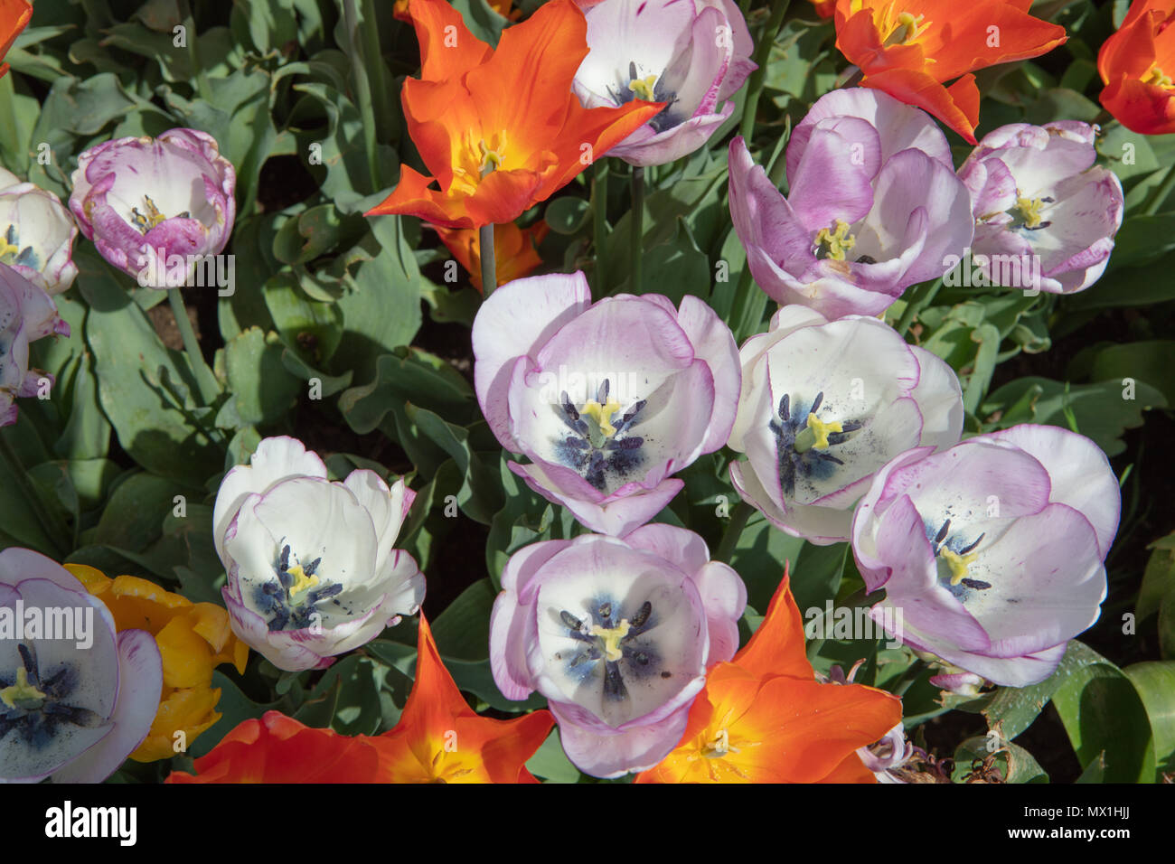 Multicolor Tulips Background Spring Flowers Top View Stock Photo