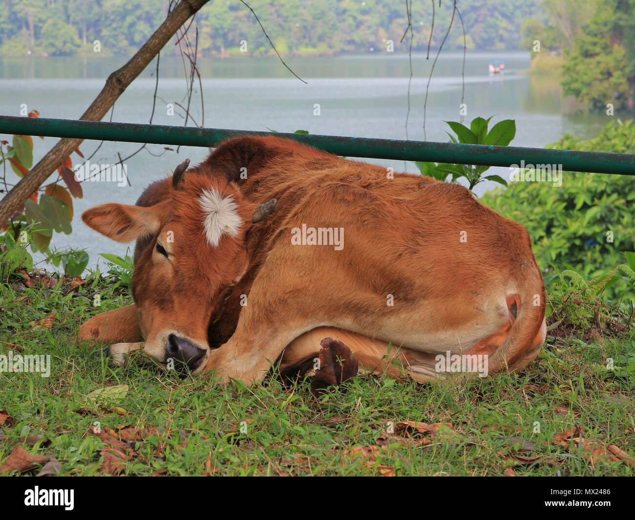 Sleeping cow at the shore of Fewa lake, Pokhara, Nepal. - Stock Image