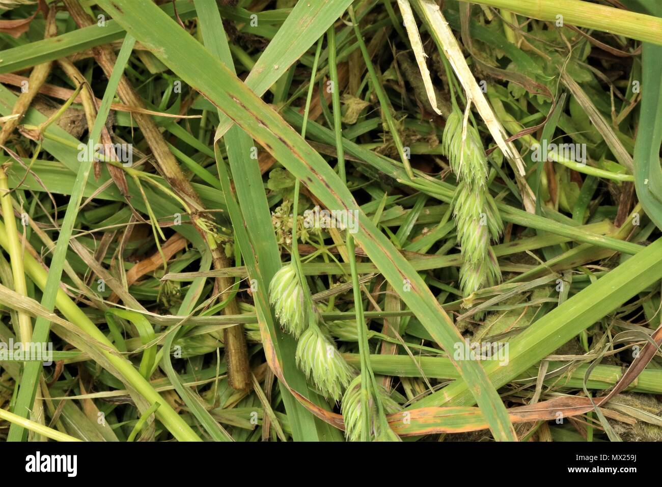 Grass and weeds background - Stock Image