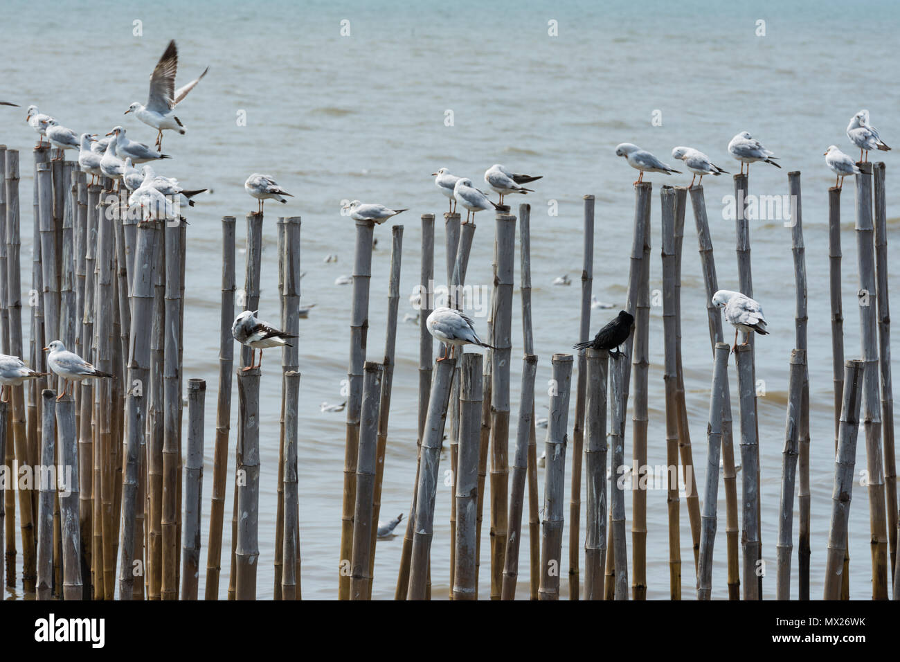 Group of seagulls holding top edge of bamboo settled down in sea Stock Photo