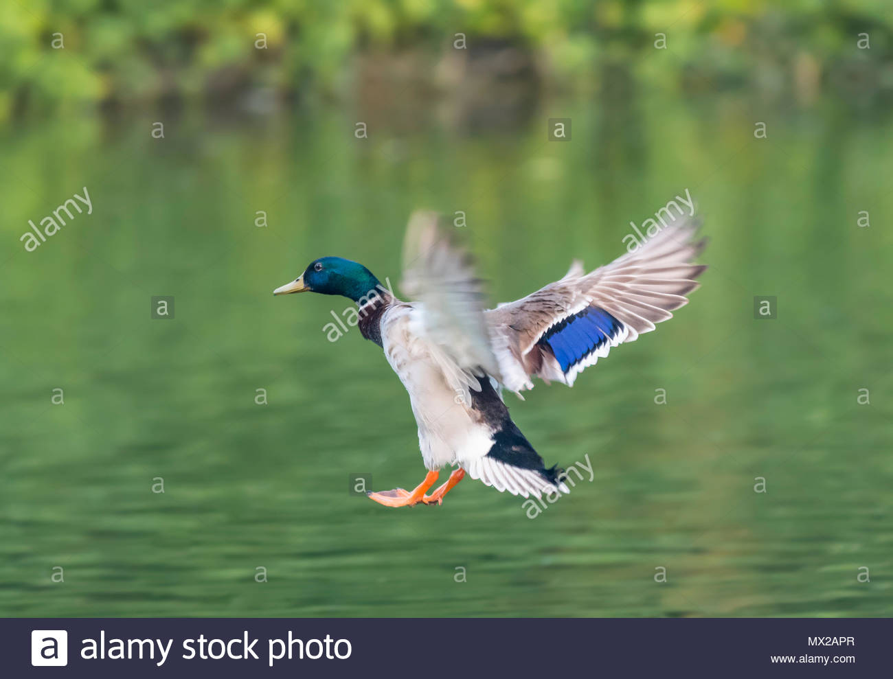 Drake Mallard Duck (Anas platyrhynchos) flying low over water in Spring in West Sussex, England, UK. - Stock Image