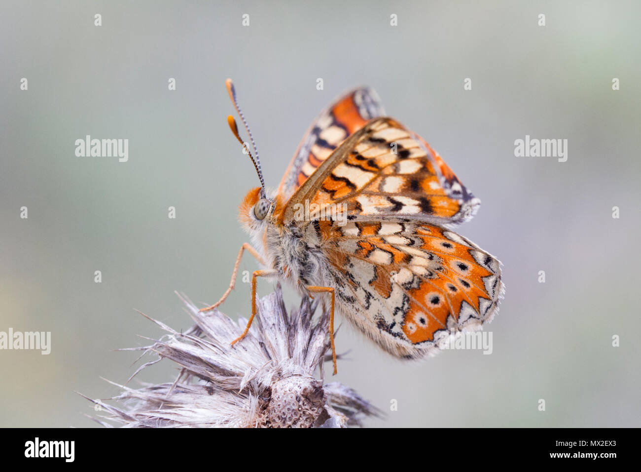 Butterfly {Euphydryas desfontainii) - Stock Image
