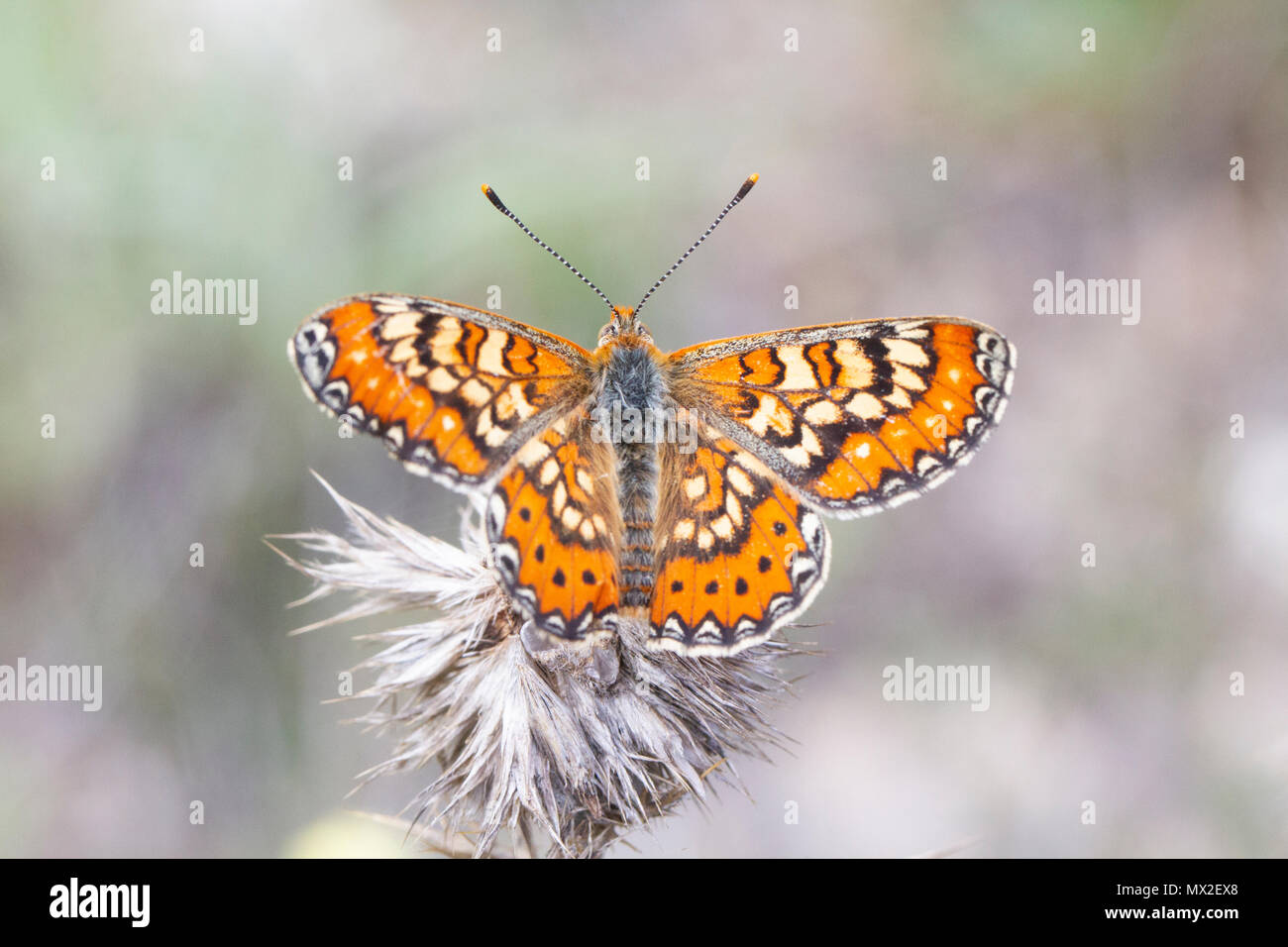 Butterfly {Euphydryas desfontainii), wings open. - Stock Image