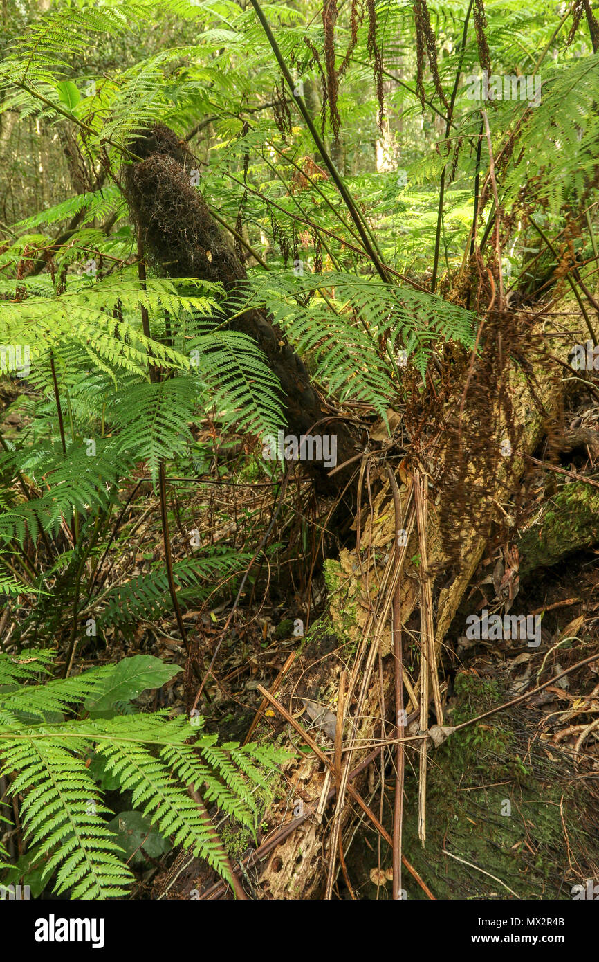 Tree ferns on the Goesa short trail in the Tsitsikamma, protected area, Garden tourist Route, Cape, South Africa - Stock Image