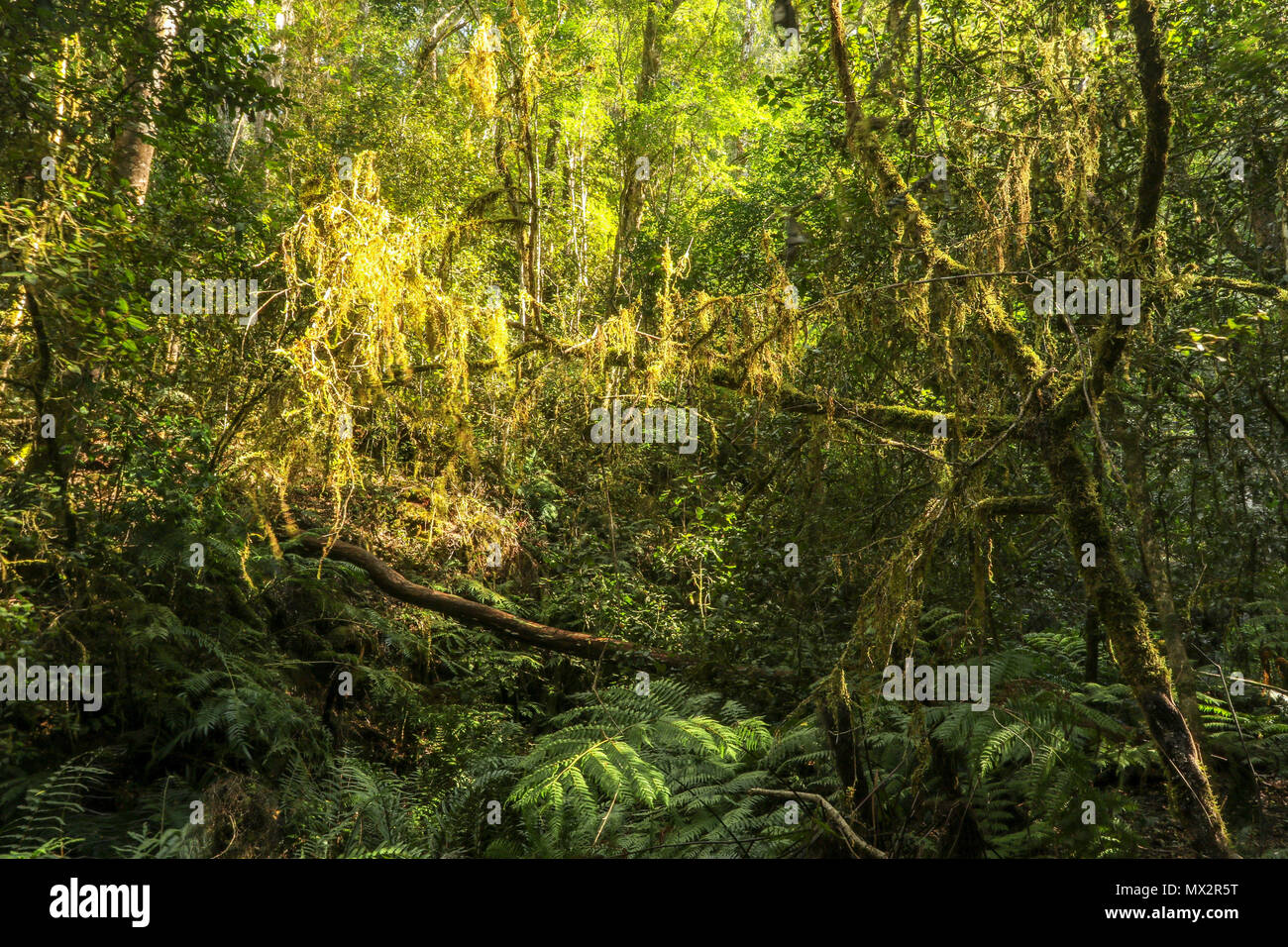 Moss covered trees on the Goesa trail in the Tsitsikamma National Park, national park, garden route, Cape, south africa - Stock Image