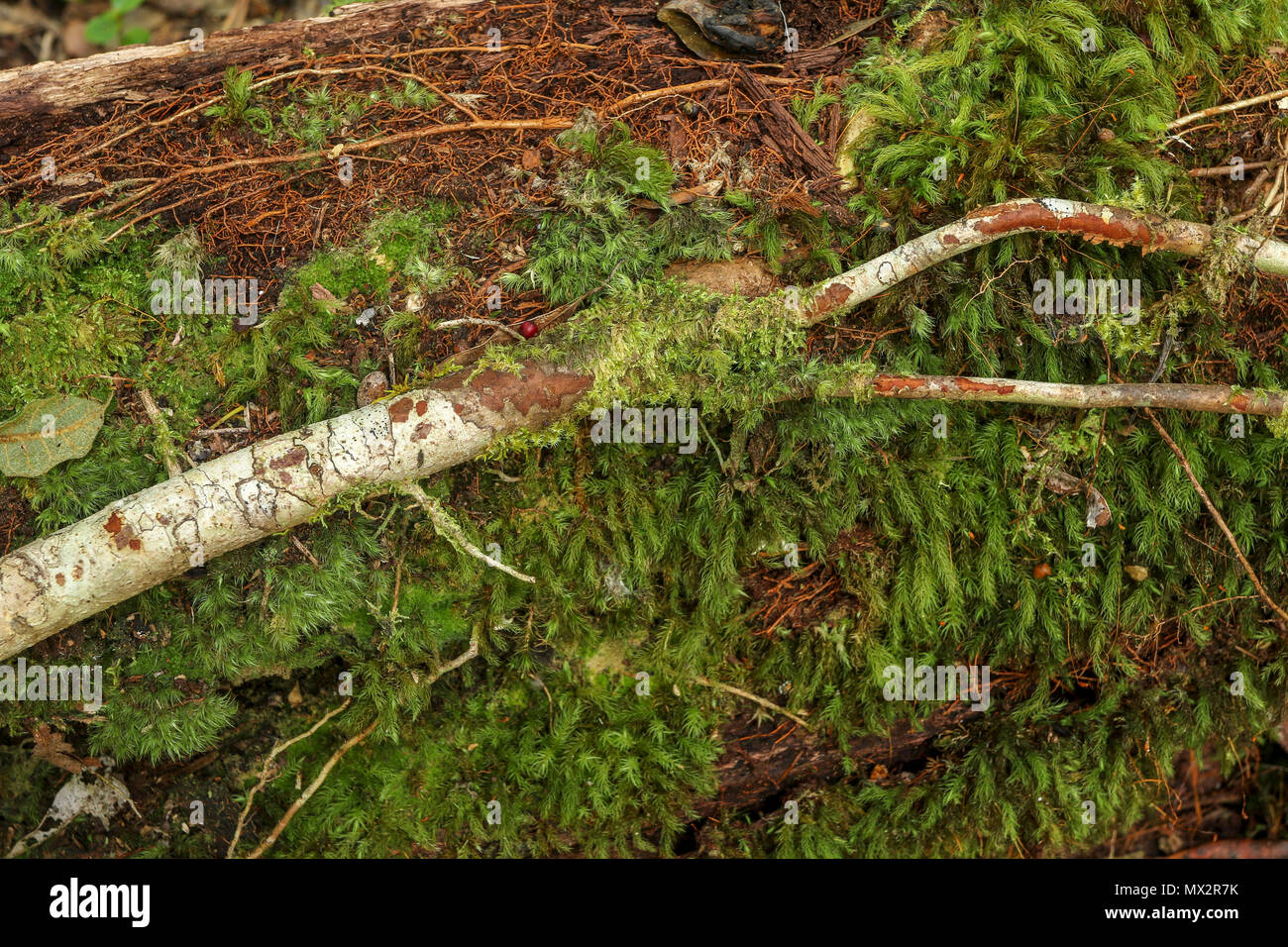Falling twig on moss with moss covering on the Goesa trail in the Tsitsikamma National Park,  garden route, south africa - Stock Image