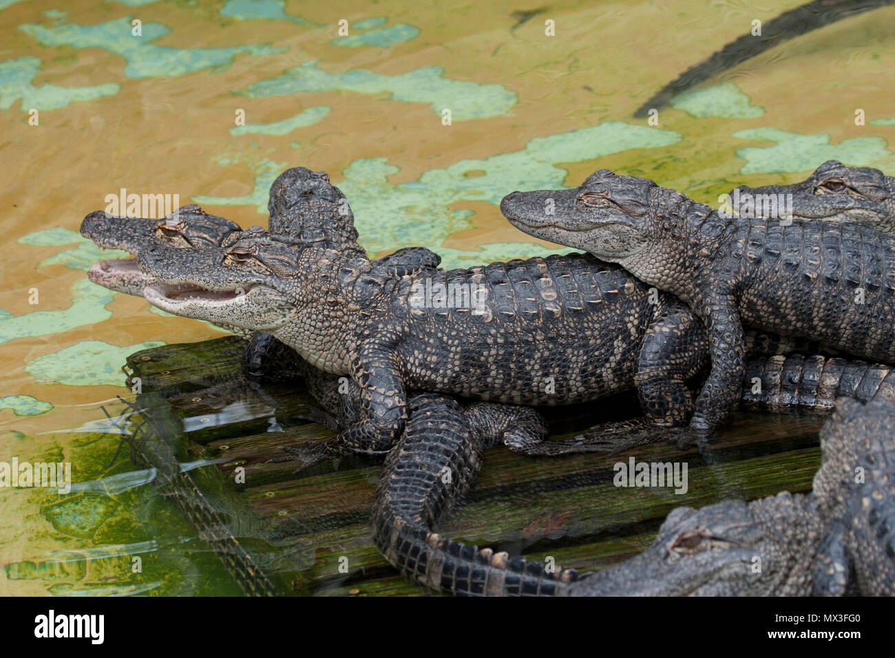 Alligator youngsters on log Stock Photo