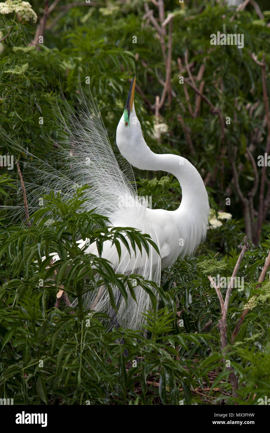 Great egret courtship display Stock Photo