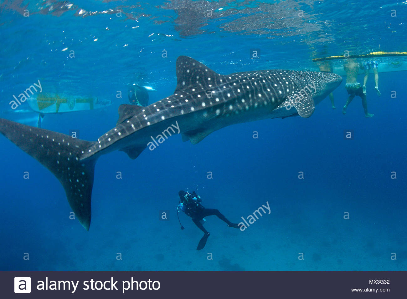 Scuba diver photographing a Whale shark (Rhincodon typus), biggest fish of world, Oslob, Cebu, Philippines, Asia - Stock Image