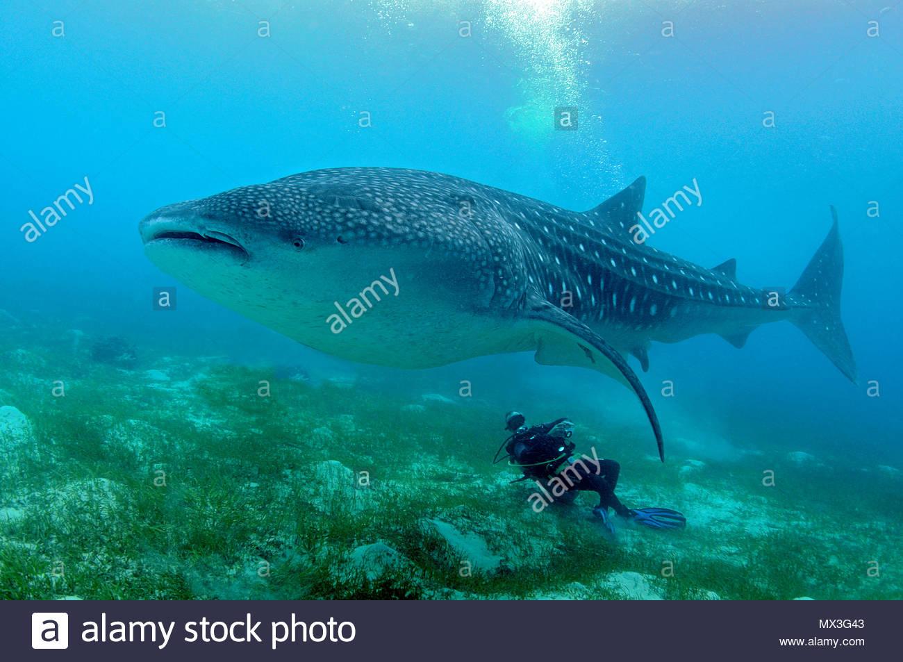 Scuba diver watching a Whale shark (Rhincodon typus), biggest fish of world, Oslob, Cebu, Philippines, Asia - Stock Image