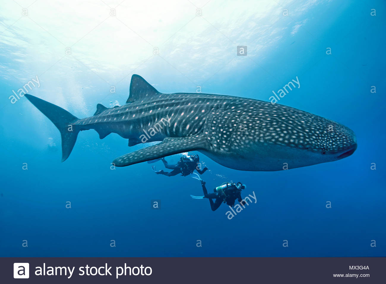 Scuba diver watching a Whale shark (Rhincodon typus), biggest fish of world, Cocos Island, Costa Rica, Central America, America - Stock Image