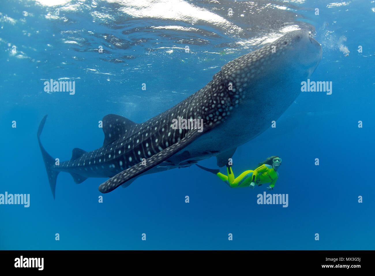 Size comparison, snorkeller and Whale shark (Rhincodon typus), biggest fish of world, Ari Atoll, Maldives islands, Asia - Stock Image