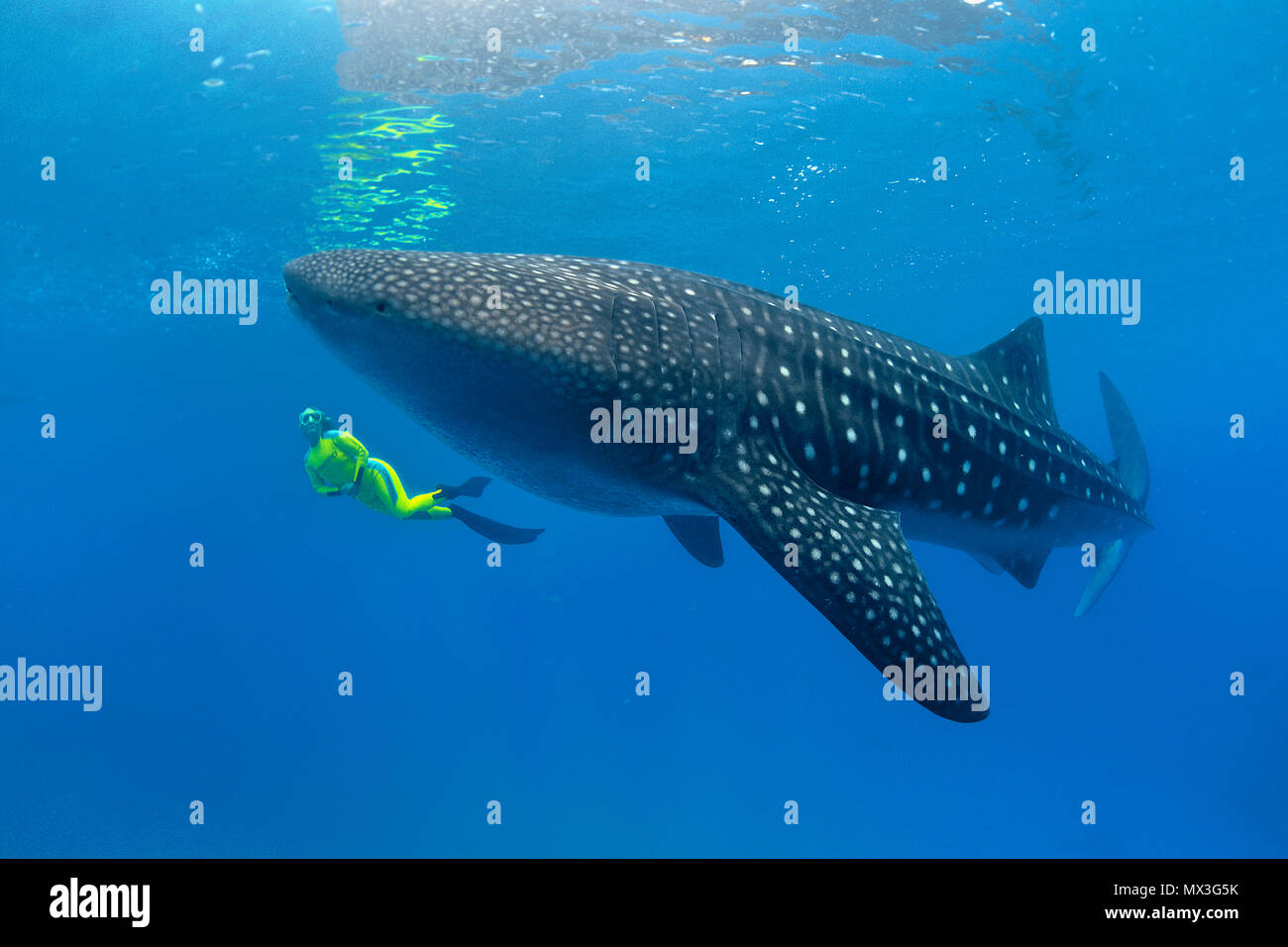 Size comparison, snorkeller and Whale shark (Rhincodon typus), biggest fish of world, Ari Atoll, Maldives islands, Asia - Stock Image