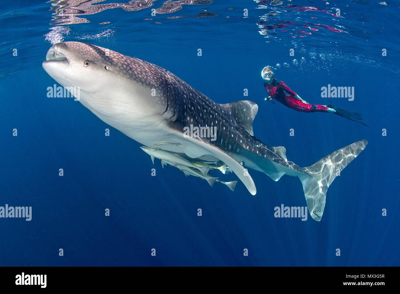 Groessenvergleich, Schnorchler und Walhai (Rhincodon typus), groesster Fisch der Welt, Cenderawasih Bucht, Irian Jaya, West-Papua, Indonesien, Asien | - Stock Image