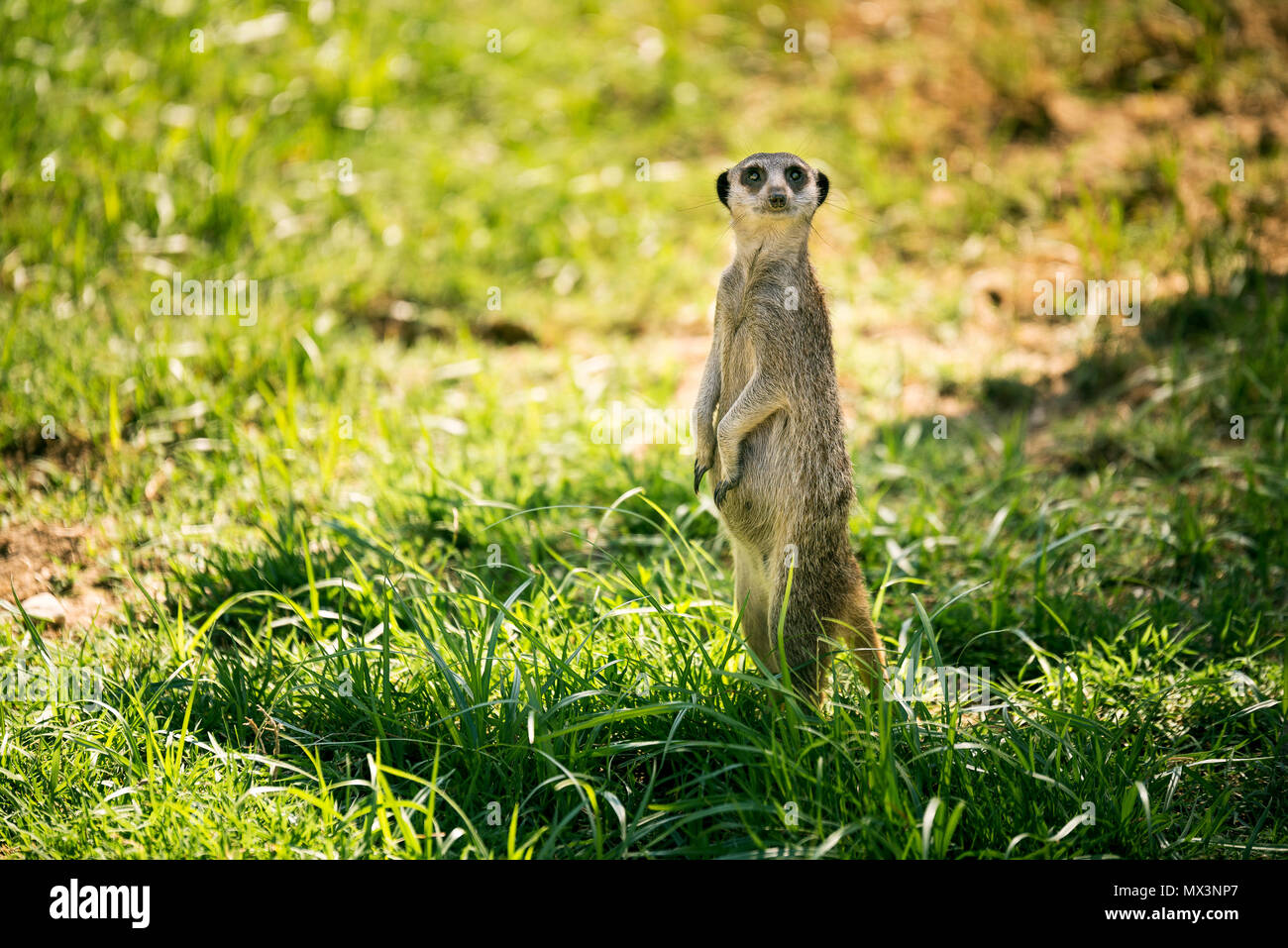 One meerkat on a watch standing in a meadow. - Stock Image