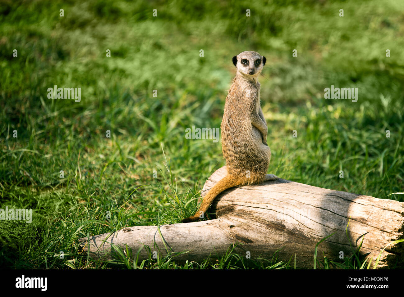 One meerkat on a watch standing in a meadow and looking at camera. - Stock Image