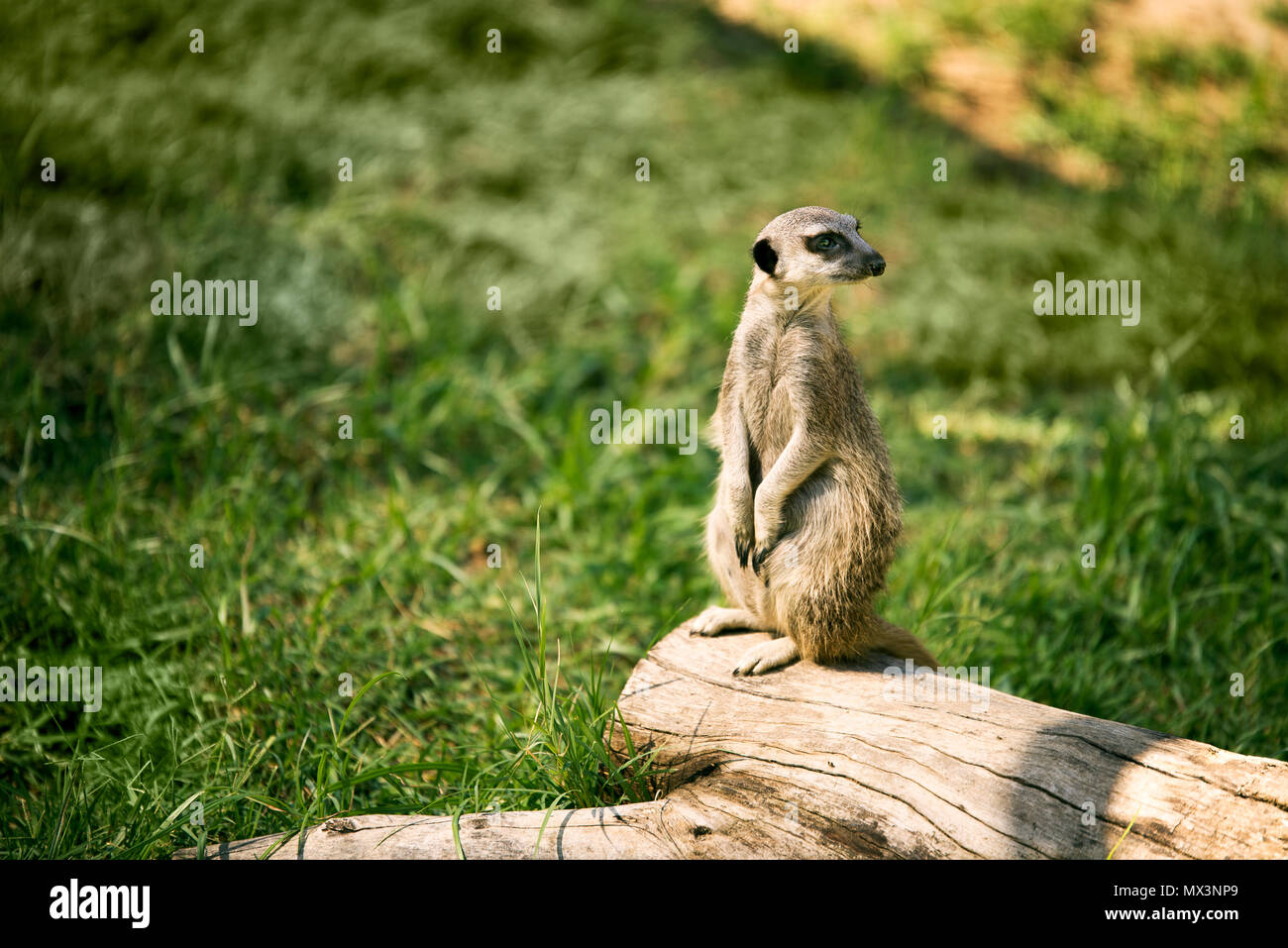 One meerkat on a watch standing in a meadow. Stock Photo