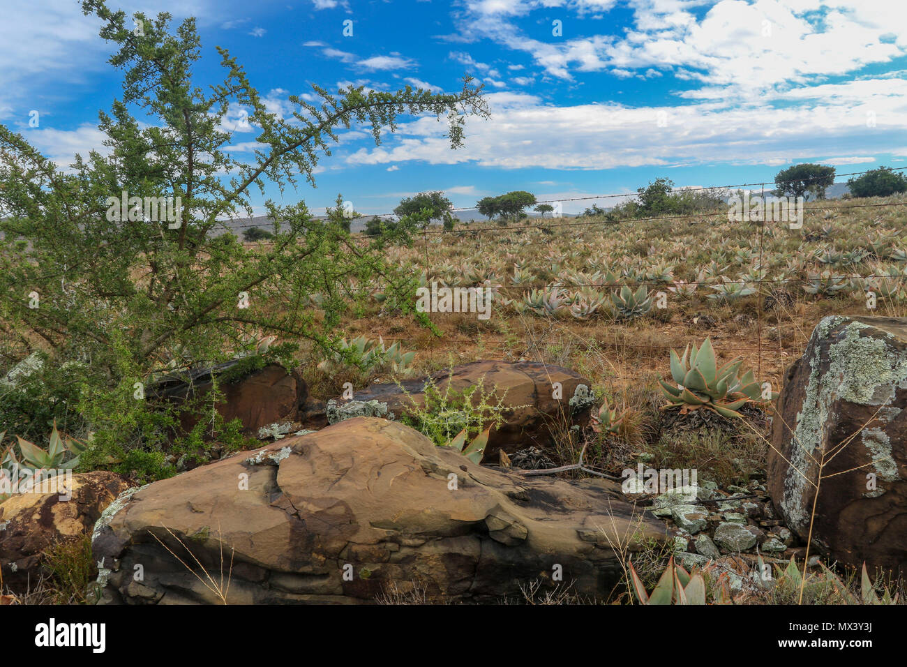 Winter landscape in South Africa with succulents, blue sky and acacia. The Addo Elephant National Park, eastern cape, south Africa - Stock Image