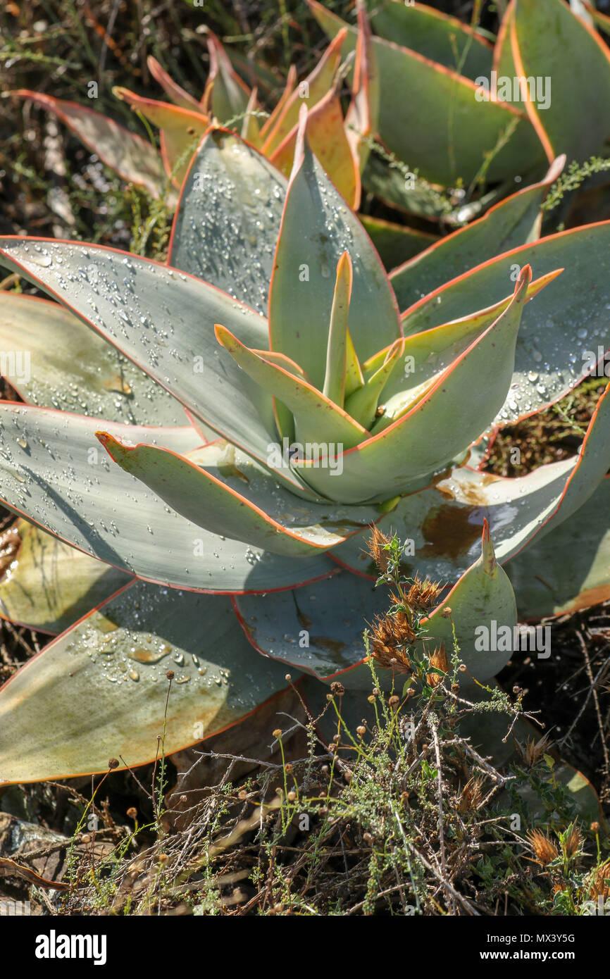 Close up of aloe rosette in the Addo Elephant National Park, eastern cape, south Africa - Stock Image