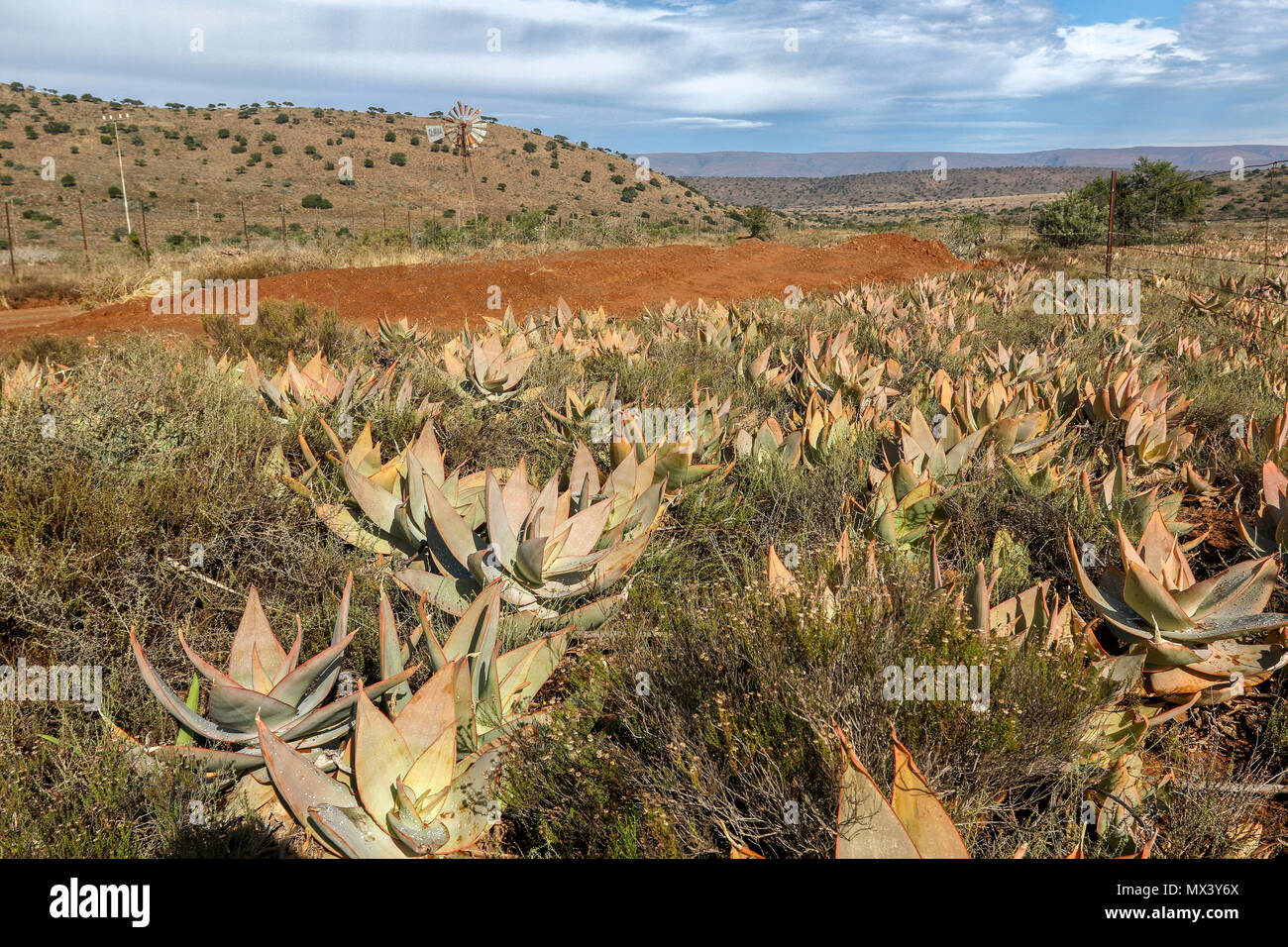 Succulents in the red semi-arid landscape of the  Addo Elephant National Park, eastern cape, south Africa - Stock Image