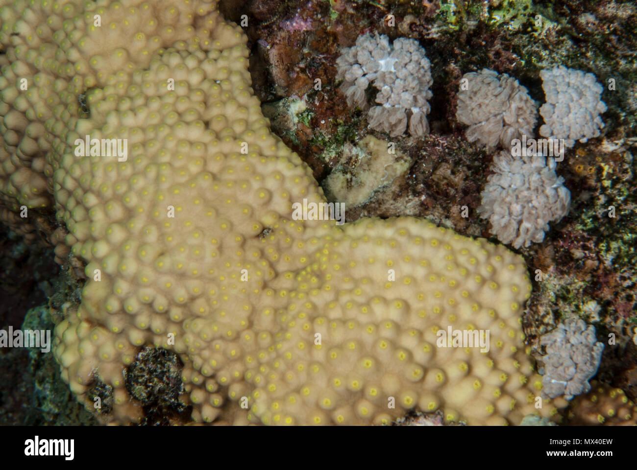 Chalice coral, Oxypora egyptensis, Pectiniidae, Sharm El Sheikh, Red Sea, Egypt - Stock Image