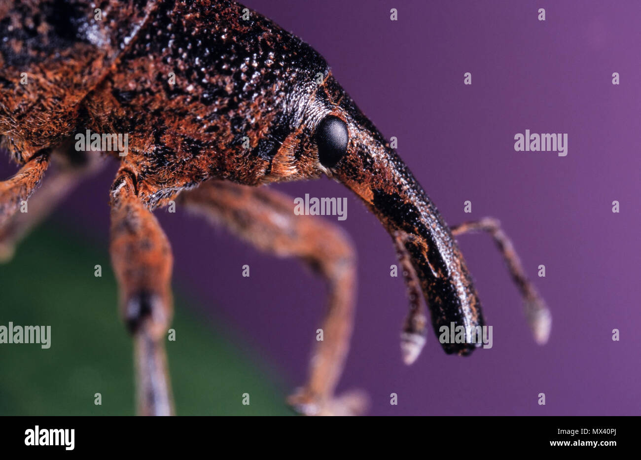 Weevil, Notaris bimaculatus. Head detail showing eye and prominent snout (rostrum) with jaws at the end. Note elbowed antennae. Portugal - Stock Image