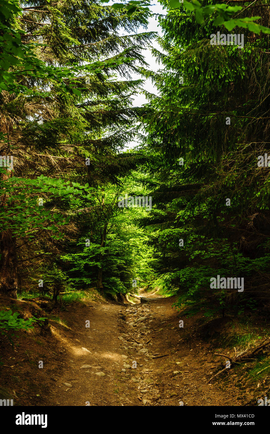 path between spruces - Stock Image