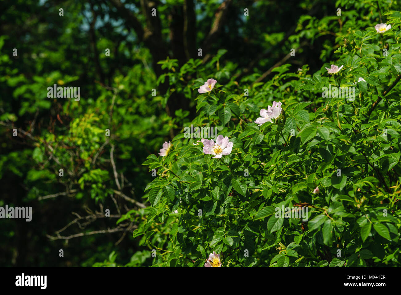 Bushes With Pink Flowers On A Background Of Trees Stock Photo