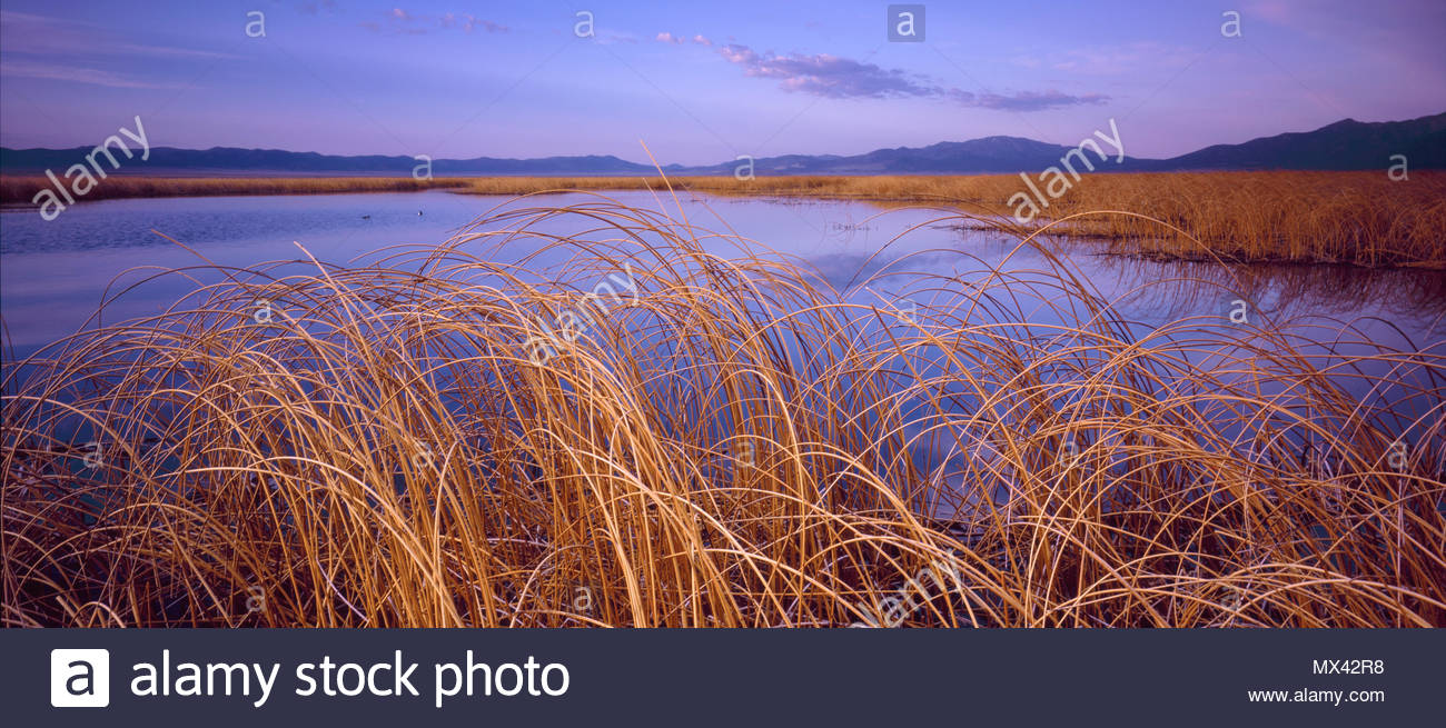 Reeds, Ruby Lake National Wildlife Refuge, Nevada - Stock Image