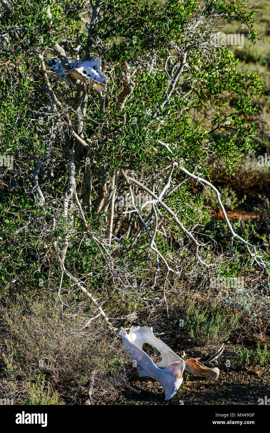 animal skeleton in acacia tree with fynbos, south africa Stock Photo