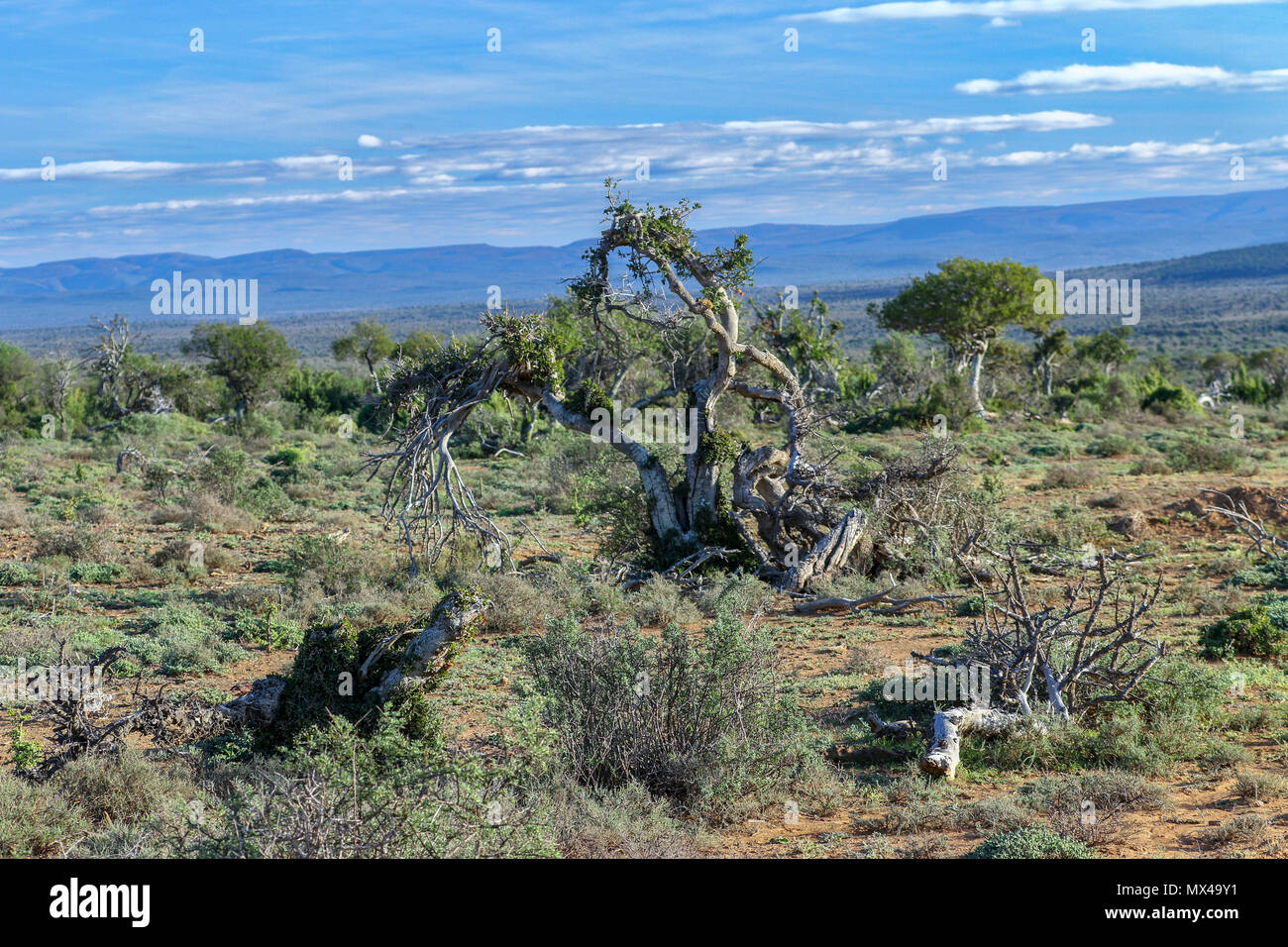 Arid fynbos landscape and lone tree in the landscape of the Addo Elephant National Park, eastern cape, south Africa Stock Photo