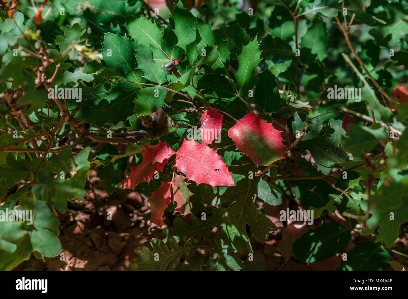 Pointy red and green leaves, closeup, no berries. American holly. - Stock Image