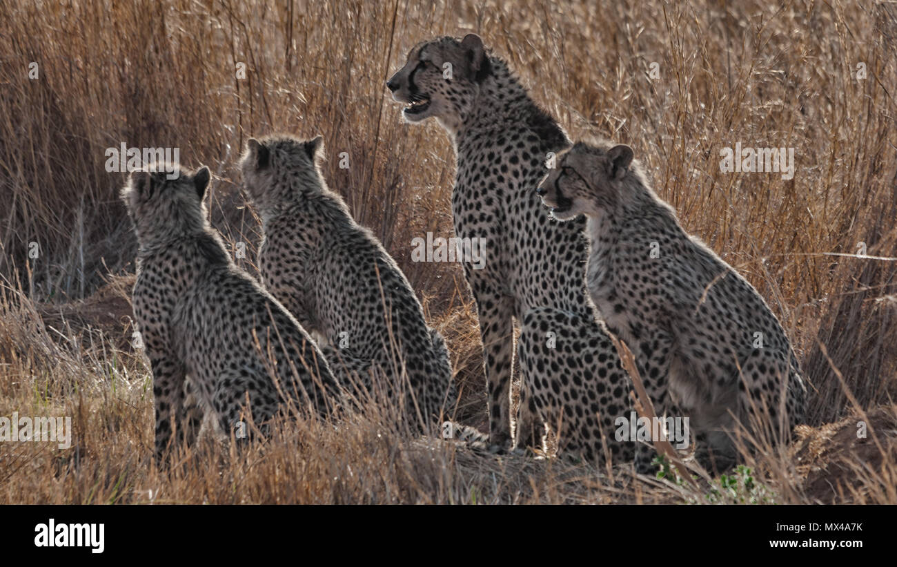 Cheetah mother with 3 cups Stock Photo