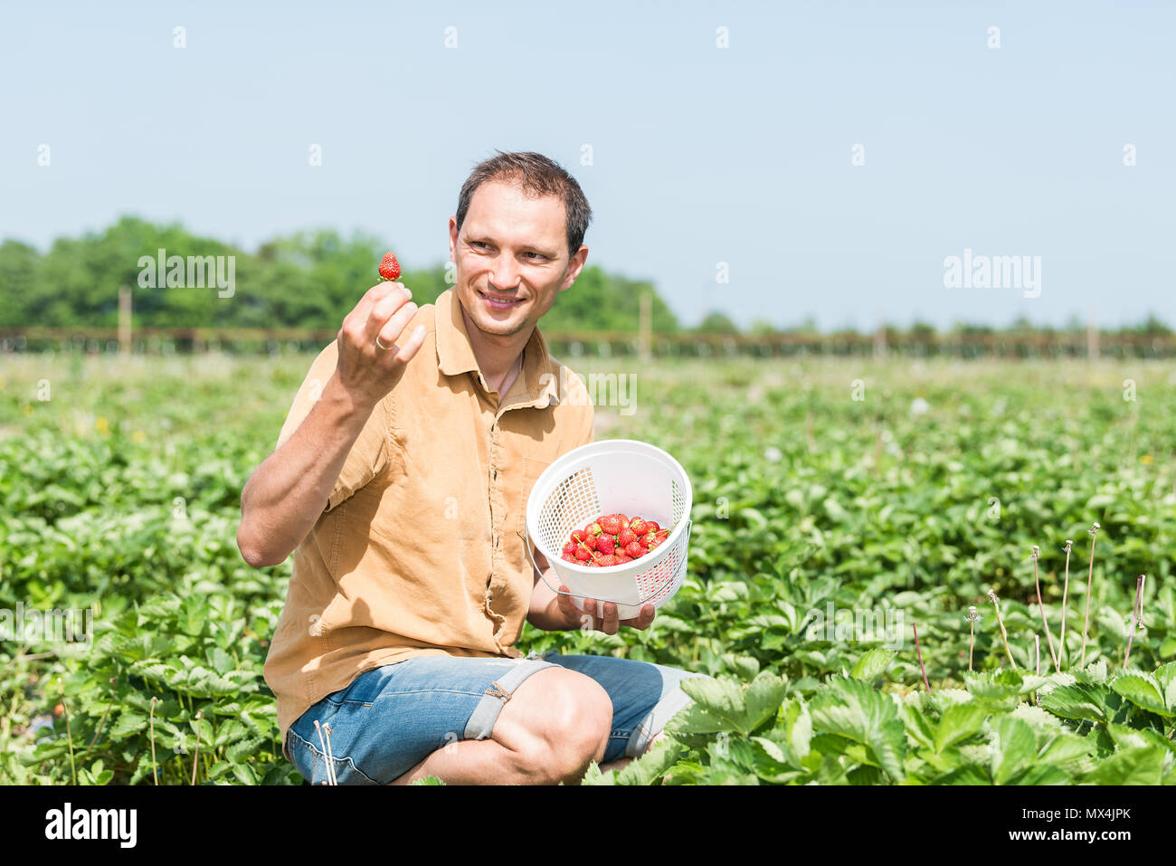Young happy smiling man picking strawberries in green field rows farm, carrying basket of red berries fruit in spring, summer activity - Stock Image