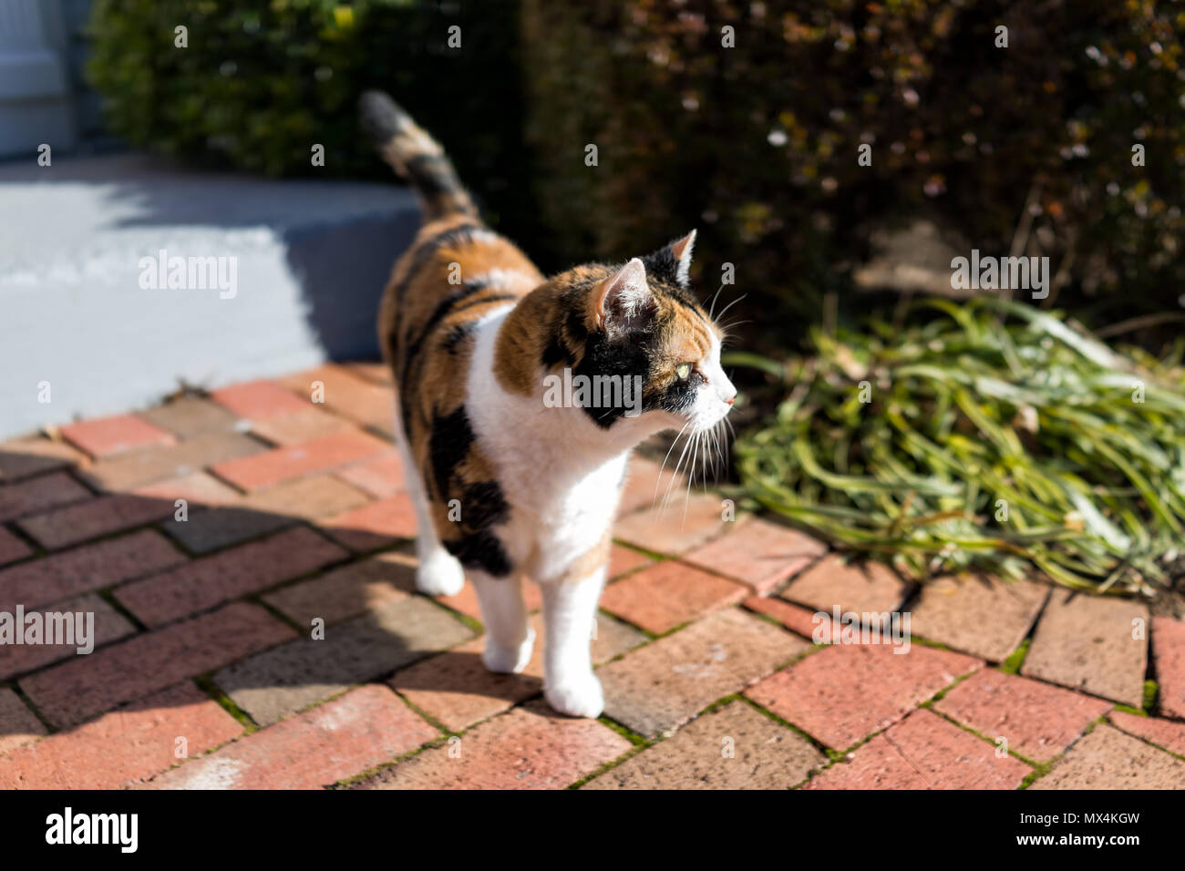 Curious calico cat standing outside green garden face in sunny