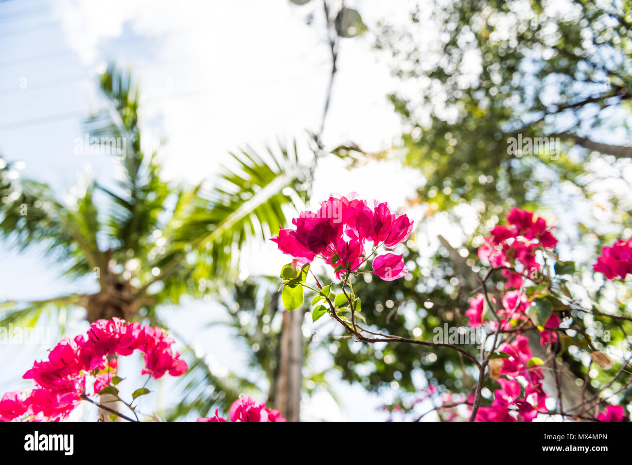 Closeup Isolated Vibrant Pink Bougainvillea Flowers In Florida Keys