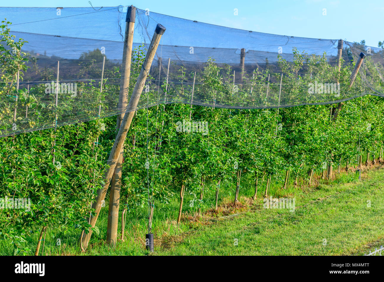 Apple orchards with Protection net against hail and elements - Stock Image